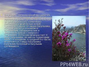 Багульник – вечнозелёный кустарничек семейства вересковых, родиной его является