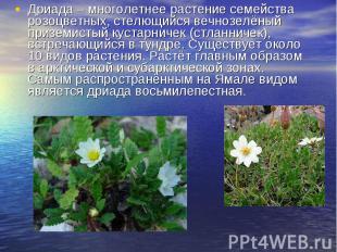 Дриада – многолетнее растение семейства розоцветных, стелющийся вечнозелёный при