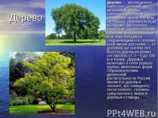 Дерево— эволюционно наиболее древний тип жизненной формы семенных растений