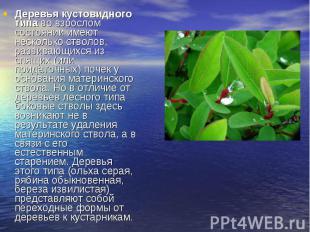 Деревья кустовидного типаво взрослом состоянии имеют несколько стволов, ра