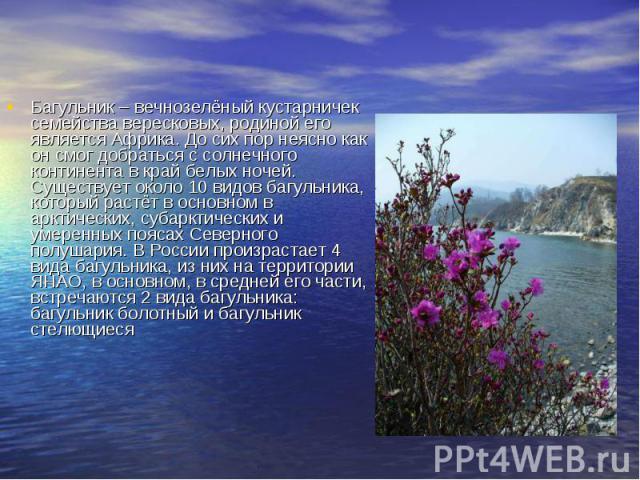 Багульник – вечнозелёный кустарничек семейства вересковых, родиной его является Африка. До сих пор неясно как он смог добраться с солнечного континента в край белых ночей. Существует около 10 видов багульника, который растёт в основном в арктических…