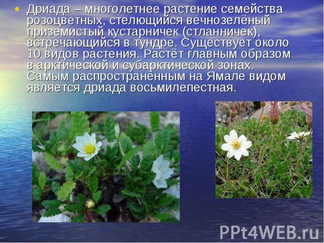 Дриада – многолетнее растение семейства розоцветных, стелющийся вечнозелёный приземистый кустарничек (стланничек), встречающийся в тундре. Существует около 10 видов растения. Растёт главным образом в арктической и субарктической зонах. Самым распрос…