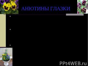 АНЮТИНЫ ГЛАЗКИ По русской легенде, в трехцветных лепестках анютиных глазок отраз