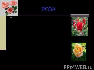 РОЗА По другой легенде, белая роза сделалась красной во время одного из пиршеств