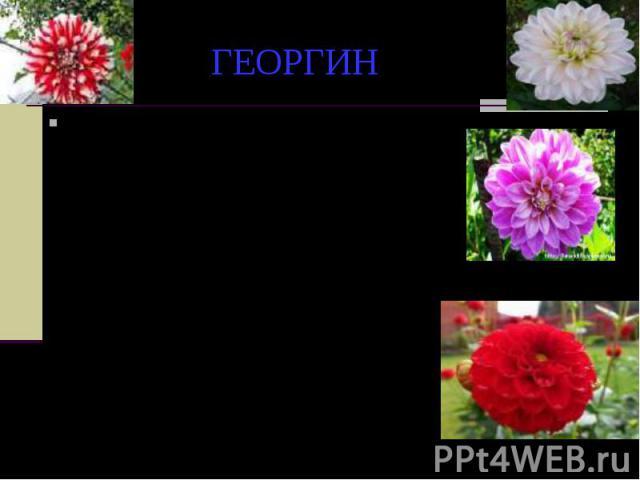 ГЕОРГИН В народе живет легенда, согласно которой этот красивый цветок обязан своим именем молодому садовнику Георгию. В далекие времена георгин был царским цветком и мог расти только в дворцовом саду. И остался бы царским пленником, если бы не садов…