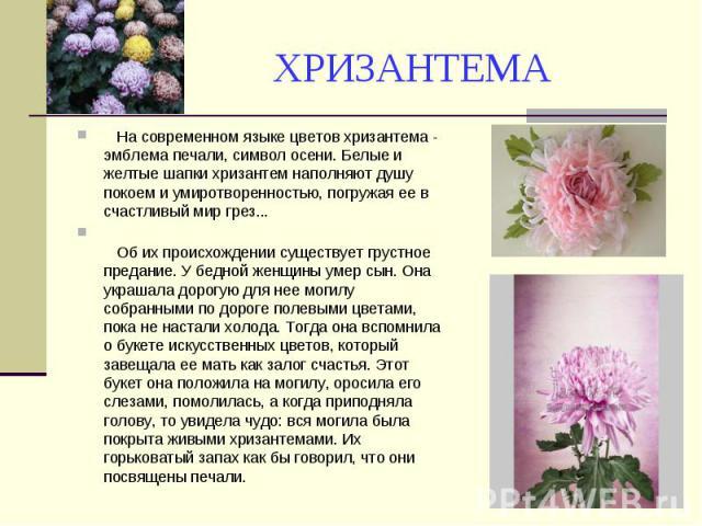 ХРИЗАНТЕМА На современном языке цветов хризантема - эмблема печали, символ осени. Белые и желтые шапки хризантем наполняют душу покоем и умиротворенностью, погружая ее в счастливый мир грез... Об их происхождении существует грустное предание. У бедн…