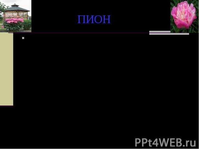 """ПИОН Родовое название образовано от греческого слова """"paionios"""" - целительный, врачующий. Название этого растения дано будто бы по имени врача Пеана, ученика самого бога врачебного искусства - Асклепия. Как-то Пеан получил от Латоны, матер…"""