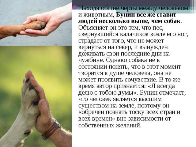 Находя общие черты между человеком и животным,Бунин все же ставит людей несколько выше, чем собак. Объясняет он это тем, что пес, свернувшийся калачиков возле его ног, страдает от того, что не может вернуться на север, и вынужден доживать свои…