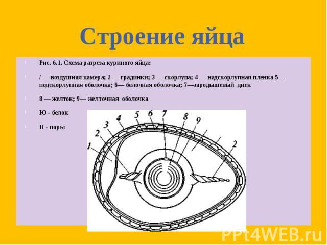 Рис. 6.1. Схема разреза куриного яйца: Рис. 6.1. Схема разреза куриного яйца: / — воздушная камера; 2 — градинки; 3 — скорлупа; 4 — надскорлупная пленка 5— подскорлупная оболочка; 6— белочная оболочка; 7—зародышевый диск 8 — желток; 9— желточная обо…