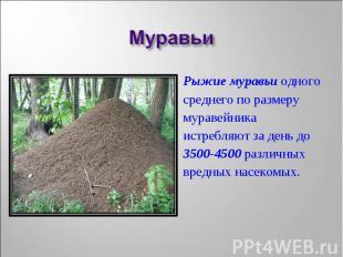 Рыжие муравьи одного Рыжие муравьи одного среднего по размеру муравейника истреб