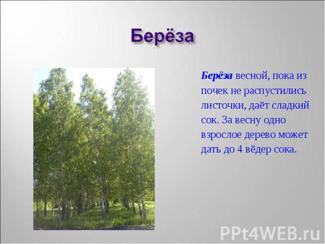 Берёза весной, пока из Берёза весной, пока из почек не распустились листочки, даёт сладкий сок. За весну одно взрослое дерево может дать до 4 вёдер сока.