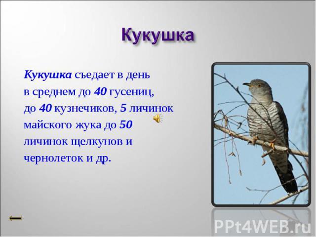 Кукушка съедает в день Кукушка съедает в день в среднем до 40 гусениц, до 40 кузнечиков, 5 личинок майского жука до 50 личинок щелкунов и чернолеток и др.