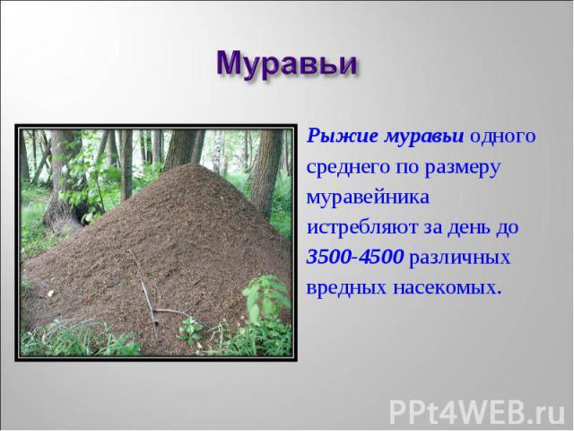 Рыжие муравьи одного Рыжие муравьи одного среднего по размеру муравейника истребляют за день до 3500-4500 различных вредных насекомых.