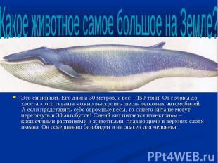 Это синий кит. Его длина 30 метров, а вес – 150 тонн. От головы до хвоста этого