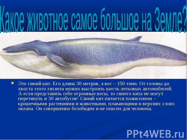 Это синий кит. Его длина 30 метров, а вес – 150 тонн. От головы до хвоста этого гиганта можно выстроить шесть легковых автомобилей. А если представить себе огромные весы, то синего кита не могут перетянуть и 30 автобусов! Синий кит питается планктон…