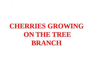 CHERRIES GROWING ON THE TREE BRANCH