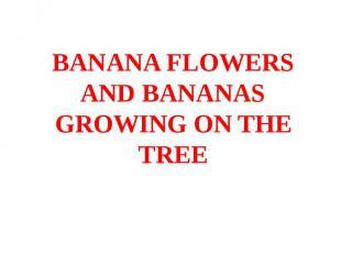 BANANA FLOWERS AND BANANAS GROWING ON THE TREE