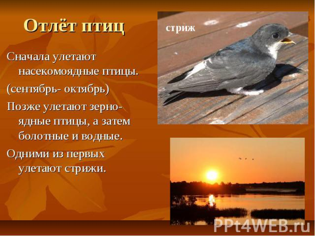 Отлёт птиц Сначала улетают насекомоядные птицы. (сентябрь- октябрь) Позже улетают зерно-ядные птицы, а затем болотные и водные. Одними из первых улетают стрижи.