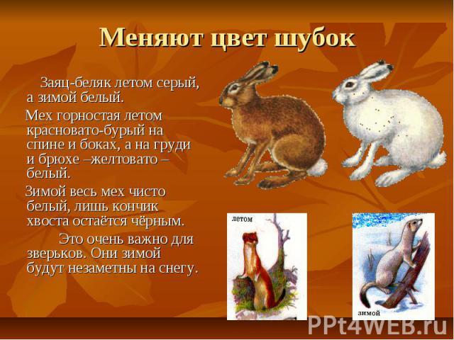 Меняют цвет шубок Заяц-беляк летом серый, а зимой белый. Мех горностая летом красновато-бурый на спине и боках, а на груди и брюхе –желтовато –белый. Зимой весь мех чисто белый, лишь кончик хвоста остаётся чёрным. Это очень важно для зверьков. Они з…