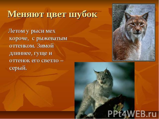 Меняют цвет шубок Летом у рыси мех короче, с рыжеватым оттенком. Зимой длиннее, гуще и оттенок его светло – серый.