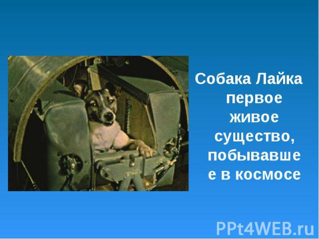 Собака Лайка первое живое существо, побывавшее в космосе Собака Лайка первое живое существо, побывавшее в космосе