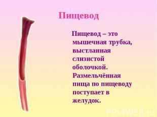 Пищевод – это мышечная трубка, выстланная слизистой оболочкой. Размельчённая пищ