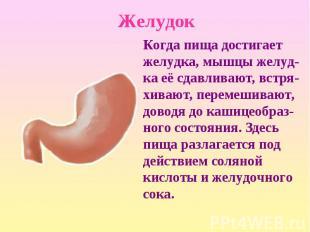 Когда пища достигает желудка, мышцы желуд-ка её сдавливают, встря-хивают, переме