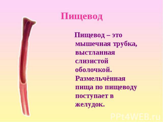 Пищевод – это мышечная трубка, выстланная слизистой оболочкой. Размельчённая пища по пищеводу поступает в желудок. Пищевод – это мышечная трубка, выстланная слизистой оболочкой. Размельчённая пища по пищеводу поступает в желудок.