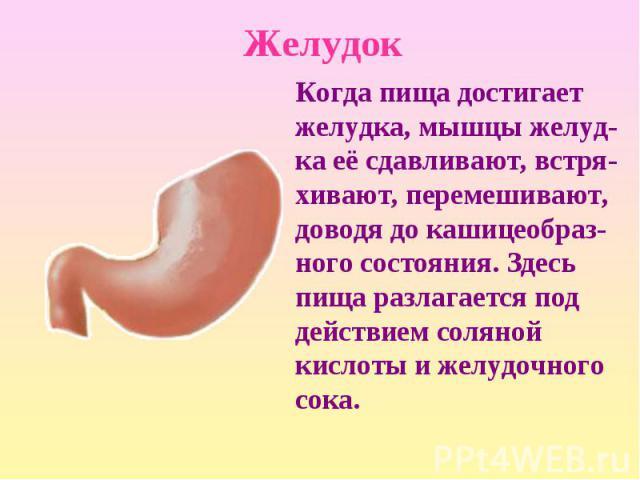 Когда пища достигает желудка, мышцы желуд-ка её сдавливают, встря-хивают, перемешивают, доводя до кашицеобраз-ного состояния. Здесь пища разлагается под действием соляной кислоты и желудочного сока. Когда пища достигает желудка, мышцы желуд-ка её сд…