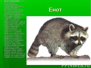 ЕНОТ-ПОЛОСКУН один из типичных представителей семейства. Ростом он с собаку сред