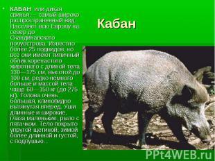 КАБАН или дикая свинья,— самый широко распространенный вид. Населяет всю Европу