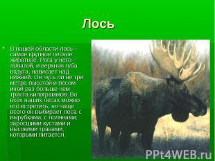В нашей области лось – самое крупное лесное животное. Рога у него – лопатой, и в