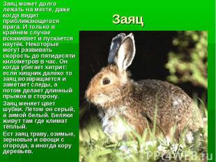Заяц может долго лежать на месте, даже когда видит приближающегося врага. И толь