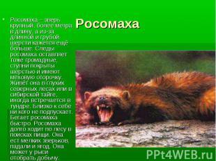 Росомаха – зверь крупный, более метра в длину, а из-за длинной и грубой шерсти к