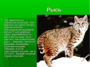 Это животное из семейства кошачьих. Она крупная, до одного метра длиною и почти
