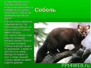 В европейской части России соболь был полностью уничтожен, в Сибири его осталось