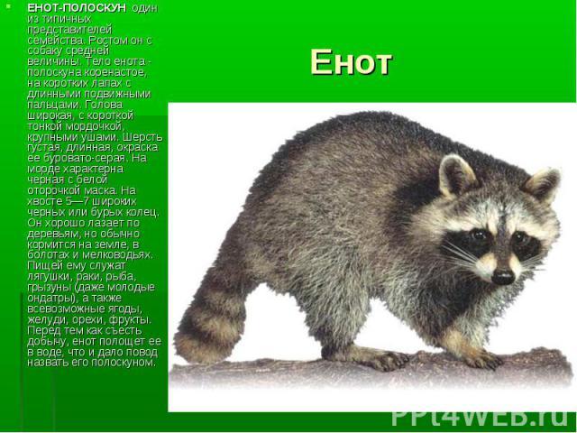 ЕНОТ-ПОЛОСКУН один из типичных представителей семейства. Ростом он с собаку средней величины. Тело енота - полоскуна коренастое, на коротких лапах с длинными подвижными пальцами. Голова широкая, с короткой тонкой мордочкой, крупными ушами. Шерсть гу…