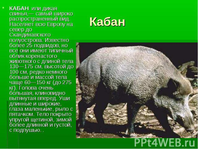 КАБАН или дикая свинья,— самый широко распространенный вид. Населяет всю Европу на север до Скандинавского полуострова. Известно более 25 подвидов, но все они имеют типичный облик коренастого животного с длиной тела 130—175 см, высотой до 100 см, ре…