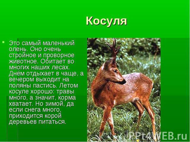 Это самый маленький олень. Оно очень стройное и проворное животное. Обитает во многих наших лесах. Днём отдыхает в чаще, а вечером выходит на поляны пастись. Летом косуле хорошо: травы много, а значит, корма хватает. Но зимой, да если снега много, п…