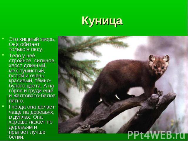 Это хищный зверь. Она обитает только в лесу. Это хищный зверь. Она обитает только в лесу. Тело у неё стройное, сильное, хвост длинный, мех пушистый, густой и очень красивый, тёмно-бурого цвета. А на горле и груди ещё и желтовато-белое пятно. Гнёзда …