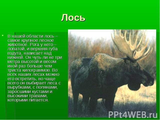 В нашей области лось – самое крупное лесное животное. Рога у него – лопатой, и верхняя губа вздута, нависает над нижней. Он чуть ли не три метра высотой и весом иной раз больше чем триста килограммов. Во всех наших лесах можно его встретить, но чаще…