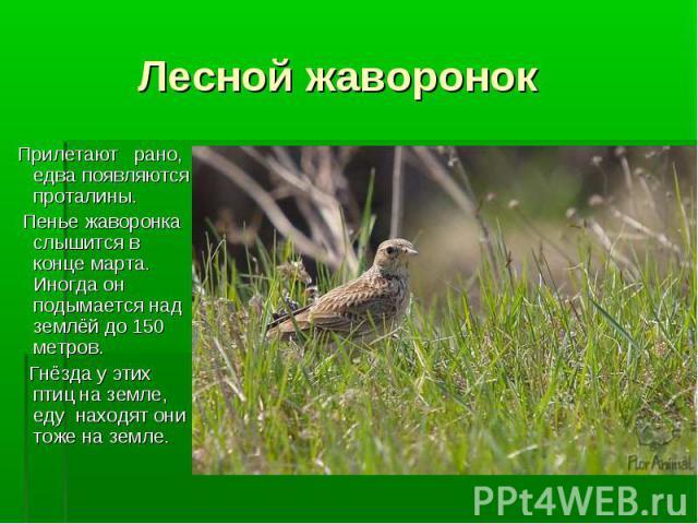 Прилетают рано, едва появляются проталины. Прилетают рано, едва появляются проталины. Пенье жаворонка слышится в конце марта. Иногда он подымается над землёй до 150 метров. Гнёзда у этих птиц на земле, еду находят они тоже на земле.