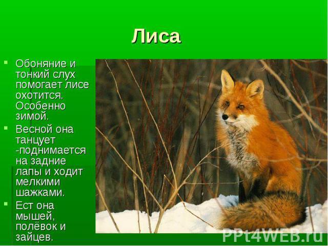 Обоняние и тонкий слух помогает лисе охотится. Особенно зимой. Обоняние и тонкий слух помогает лисе охотится. Особенно зимой. Весной она танцует -поднимается на задние лапы и ходит мелкими шажками. Ест она мышей, полёвок и зайцев.
