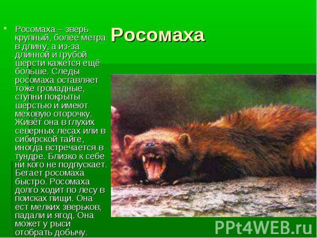 Росомаха – зверь крупный, более метра в длину, а из-за длинной и грубой шерсти кажется ещё больше. Следы росомаха оставляет тоже громадные, ступни покрыты шерстью и имеют меховую оторочку. Живёт она в глухих северных лесах или в сибирской тайге, ино…