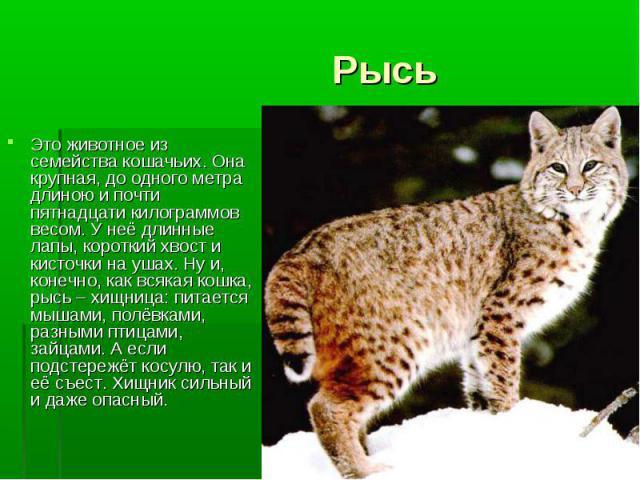 Это животное из семейства кошачьих. Она крупная, до одного метра длиною и почти пятнадцати килограммов весом. У неё длинные лапы, короткий хвост и кисточки на ушах. Ну и, конечно, как всякая кошка, рысь – хищница: питается мышами, полёвками, разными…