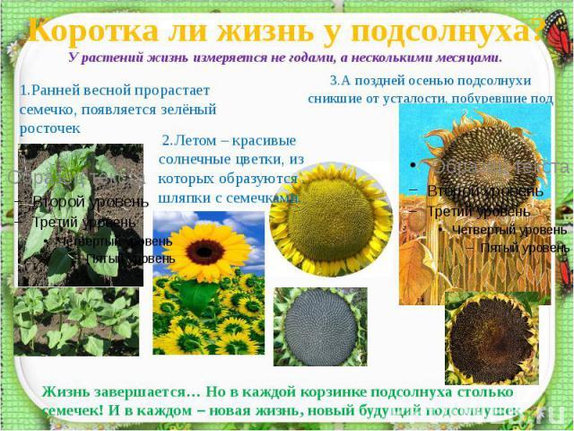Коротка ли жизнь у подсолнуха? 1.Ранней весной прорастает семечко, появляется зелёный росточек