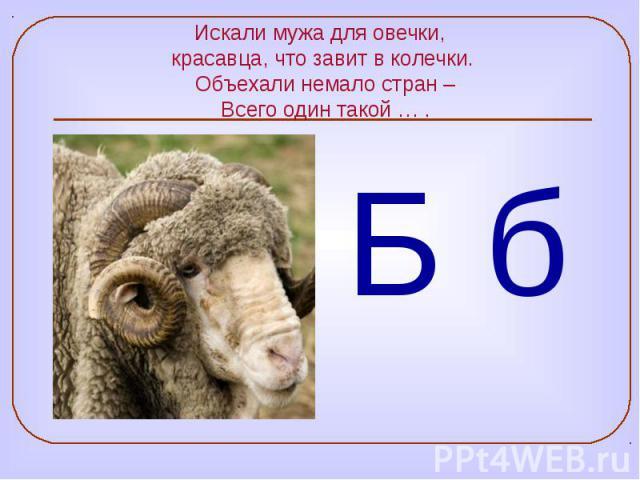 Искали мужа для овечки, красавца, что завит в колечки. Объехали немало стран – Всего один такой … .