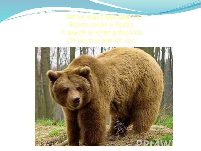 Летом ходит без дороги Возле сосен и берёз, А зимой он спит в берлоге, От мороза прячет нос.