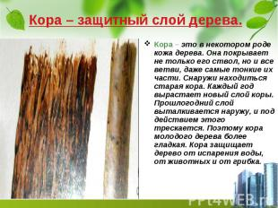 Кора – защитный слой дерева. Кора – это в некотором роде кожа дерева. Она покрыв