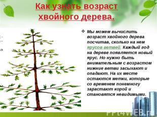 Как узнать возраст хвойного дерева. Мы можем вычислить возраст хвойного дерева п